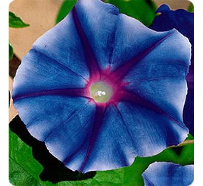 Ипомея Голубая звезда (35 шт.) Ipomоea Blue Star