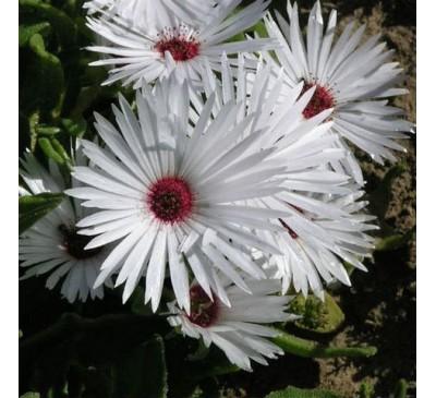 Мезембриантемум Белый (10 шт.) / Mesembryanthemum Criniflorum