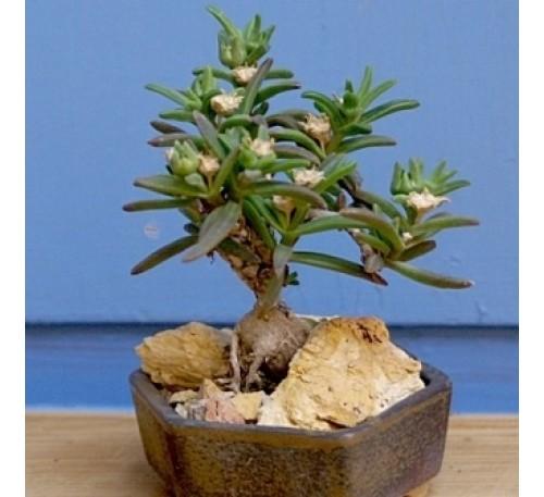 Местоклема крупнокорневищная (10 шт.) / Mestoklema macrorrhizum (Mestoklema macrorhiza)