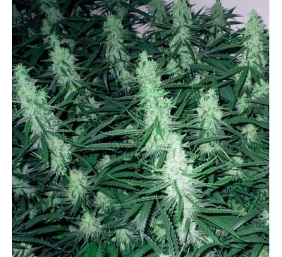 Регулярная смесь семян фотопериодов (двуполые) (1 шт.) / Foto Regular MIX